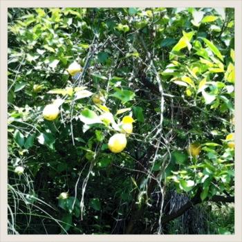 20110516-lemon.JPG